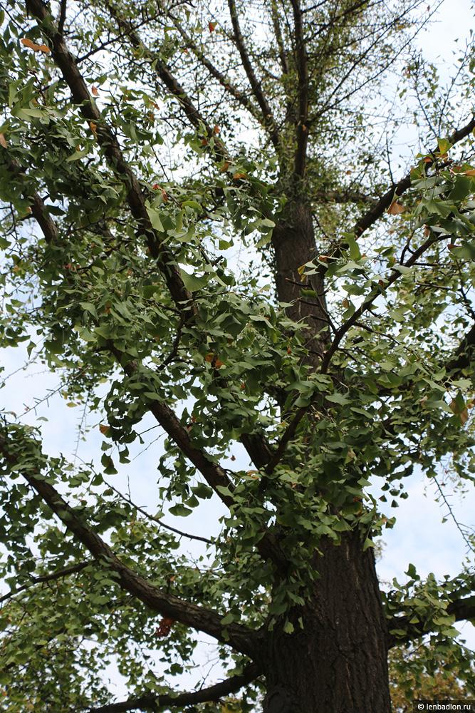 Фото дерева Гинкго